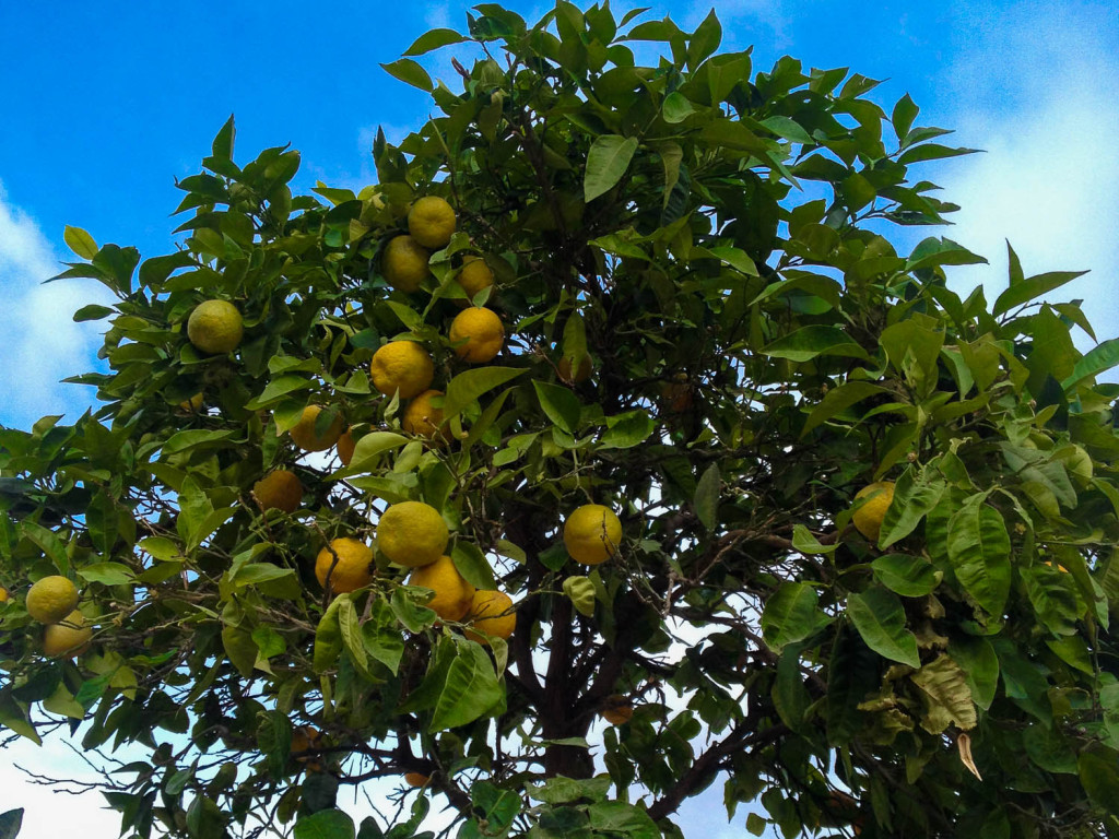 Jardin des Tuileries Lemon Tree